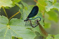 Paarung der Blauflügel-Prachtlibellen