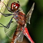 Paarung der Blutroten Heidelibelle (Sympetrum sanguineum) - 4 (nur Doku)
