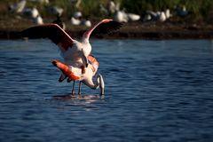 Paarung der Flamingos