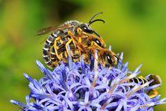 Paarung der Gelbbindigen Furchenbiene (Halictus scabiosae) - oder drei sind einer zuviel ...