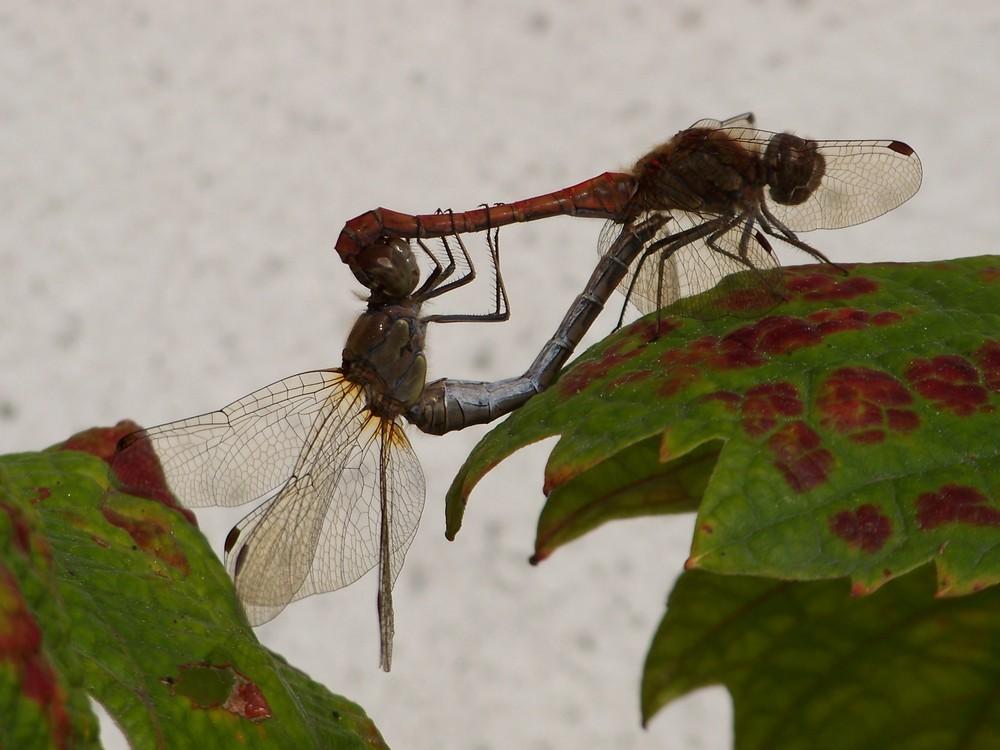 Paarung der grossen Heidelibelle (Sympetrum striolatum)