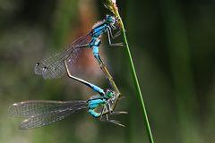 Paarung der großen Pechlibelle