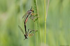Paarung der Höcker-Habichtsfliegen