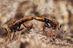 Paarung der Hornissen Raubfliege (Asilus crabroniformis)