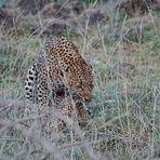 Paarung der Leoparden