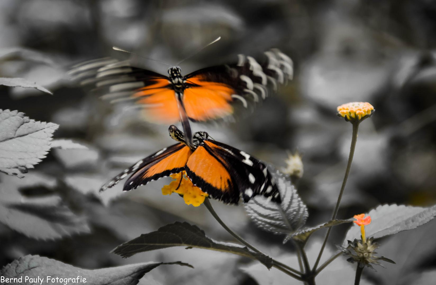 Paarung der Schmetterlinge