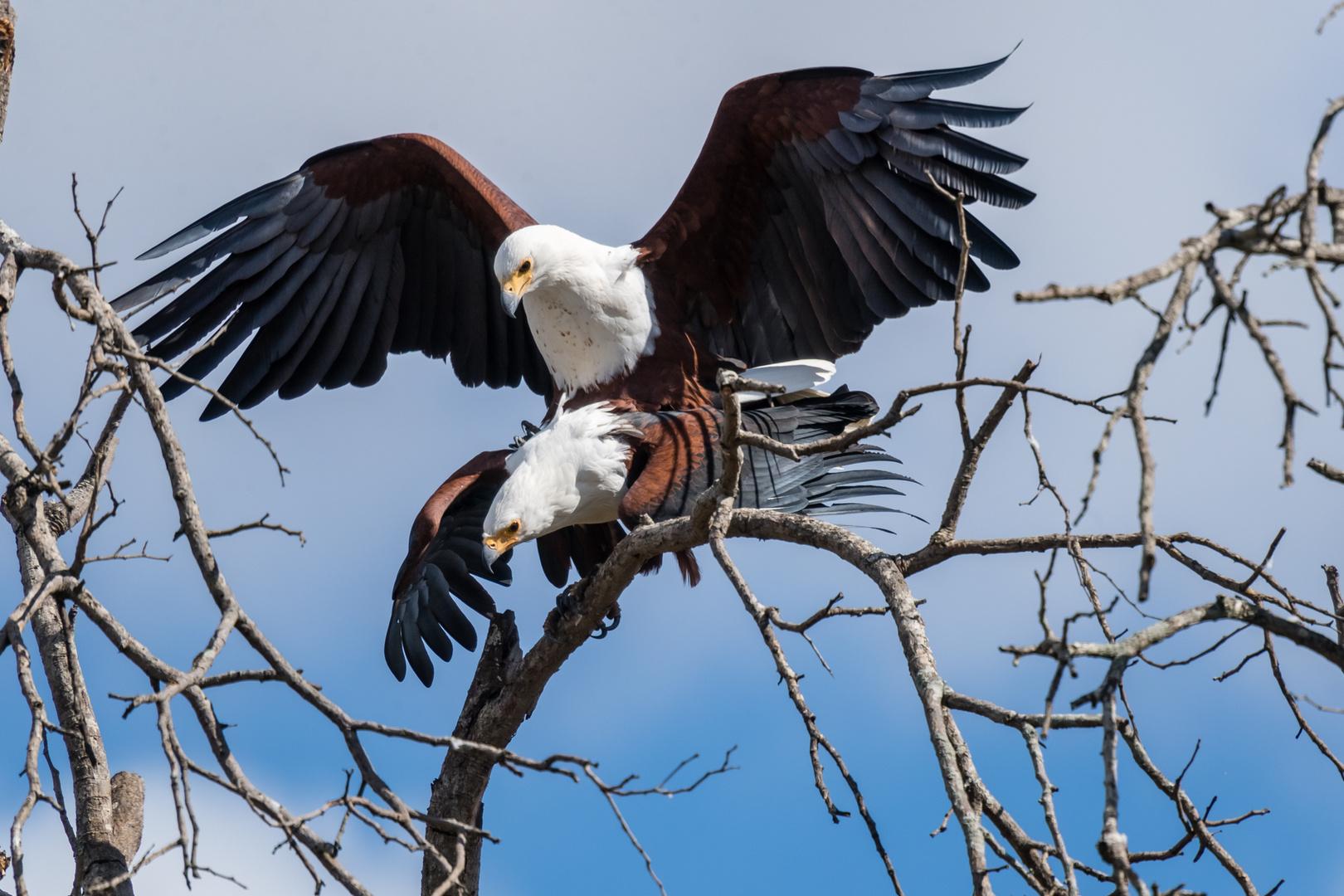 Paarung der Schreiseeadler (African Fish Eagle)