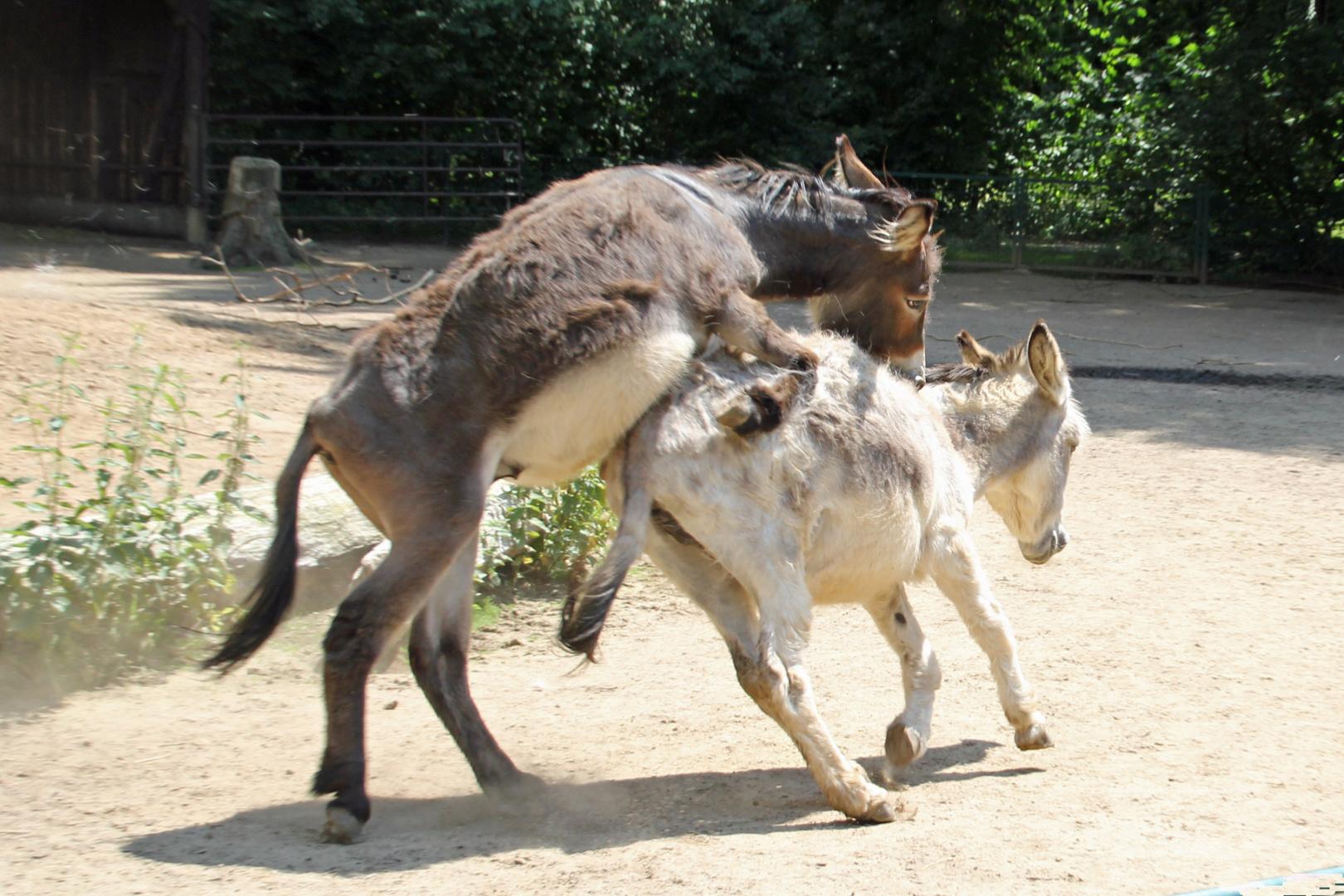 Paarung im Galopp Foto & Bild | tiere, haustiere, pferde