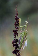 Paarung Mantis religiosa (Gottesanbeterin)