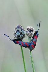 Paarung Sechsfleck-Widderchen (Zygaena filipendulae)