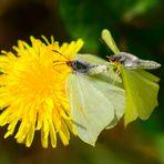Paarung Zitronenfalter, (Gonepteryx rhamni), Common brimstone, Limonera