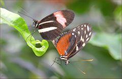 Paarung zweier Heliconius Arten