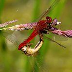 Paarungsrad der Feuerlibelle (Crocothemis erythraea)