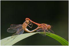Paarungsrad der Gemeinen Heidelibelle(Sympetrum vulgatum)