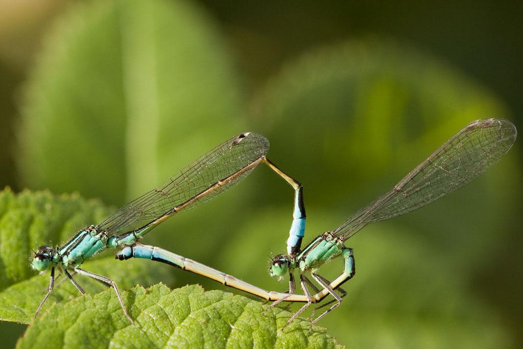Paarungsrad der Großen Pechlibelle