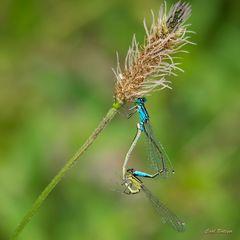 Paarungsrad Große Pechlibelle