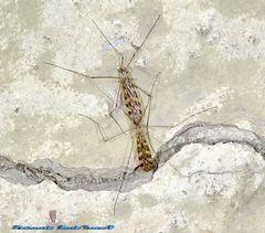 Paarungszeit der Schneidermücken