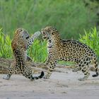 Paarunsritual Jaguare