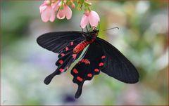 Pachliopta aristolochiae - 1