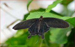 Pachliopta aristolochiae - 2