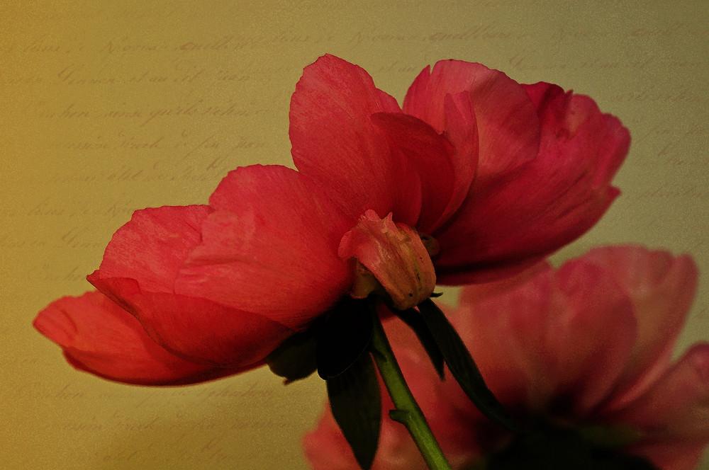 Paeonia-Japonica - Aquarell