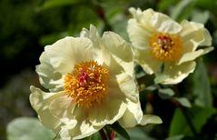 Paeonia suffruticosa, Gelbe Pfingstrose
