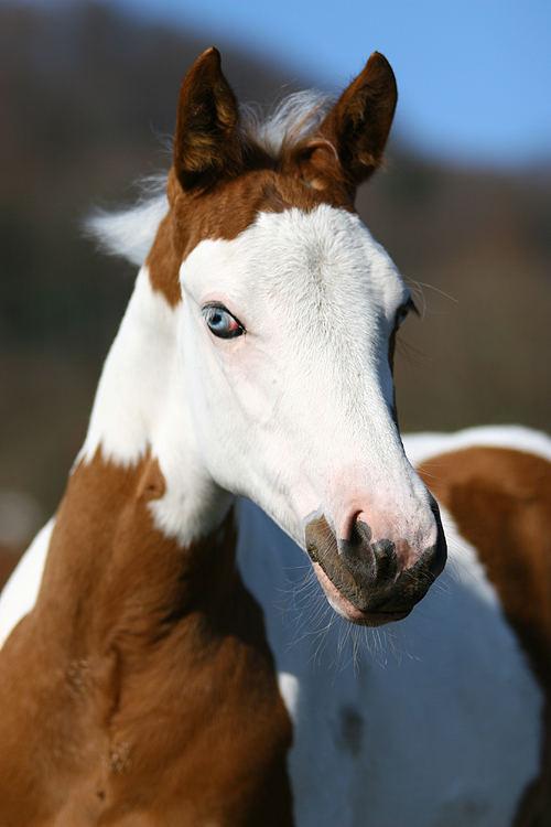 Paint Horse Fohlen Foto & Bild | tiere, haustiere, pferde