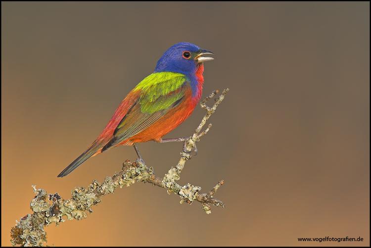 Painted Bunting....oder Vogel ausm Farbeimer...