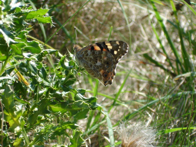 Painted lady, late summer.