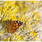 Painted Lady, oder...