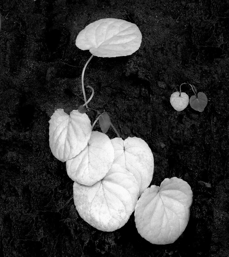Pale Wild Flora