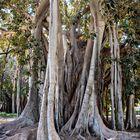 Palermo Ficus Macrophylla