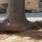 Palermobaum