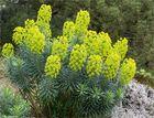 Palisaden-Wolfsmilch (Euphorbia characias) Wulfenii..