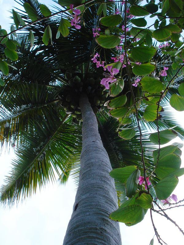 Palm Tree in Puerto Plata