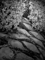 PALM TREE INARDS 3 bw
