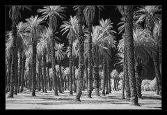 Palm Trees - Furnace Creek Ranch