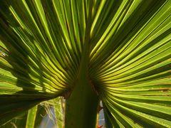 palmae
