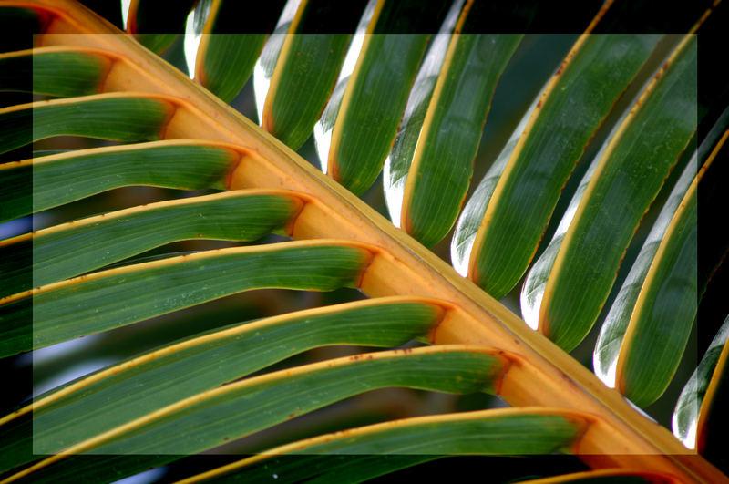 Palmblatt der Kokospalme
