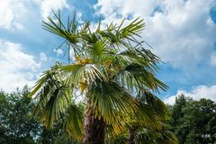 Palme im Münsterland