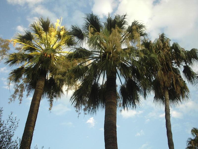 palme in costa azzurra