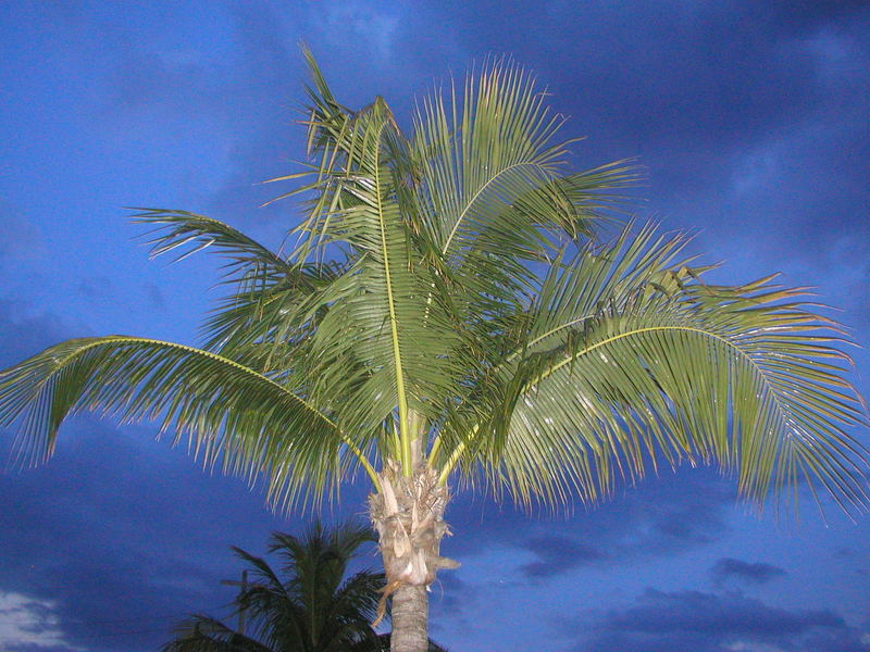 Palme in Ft Myers Beach