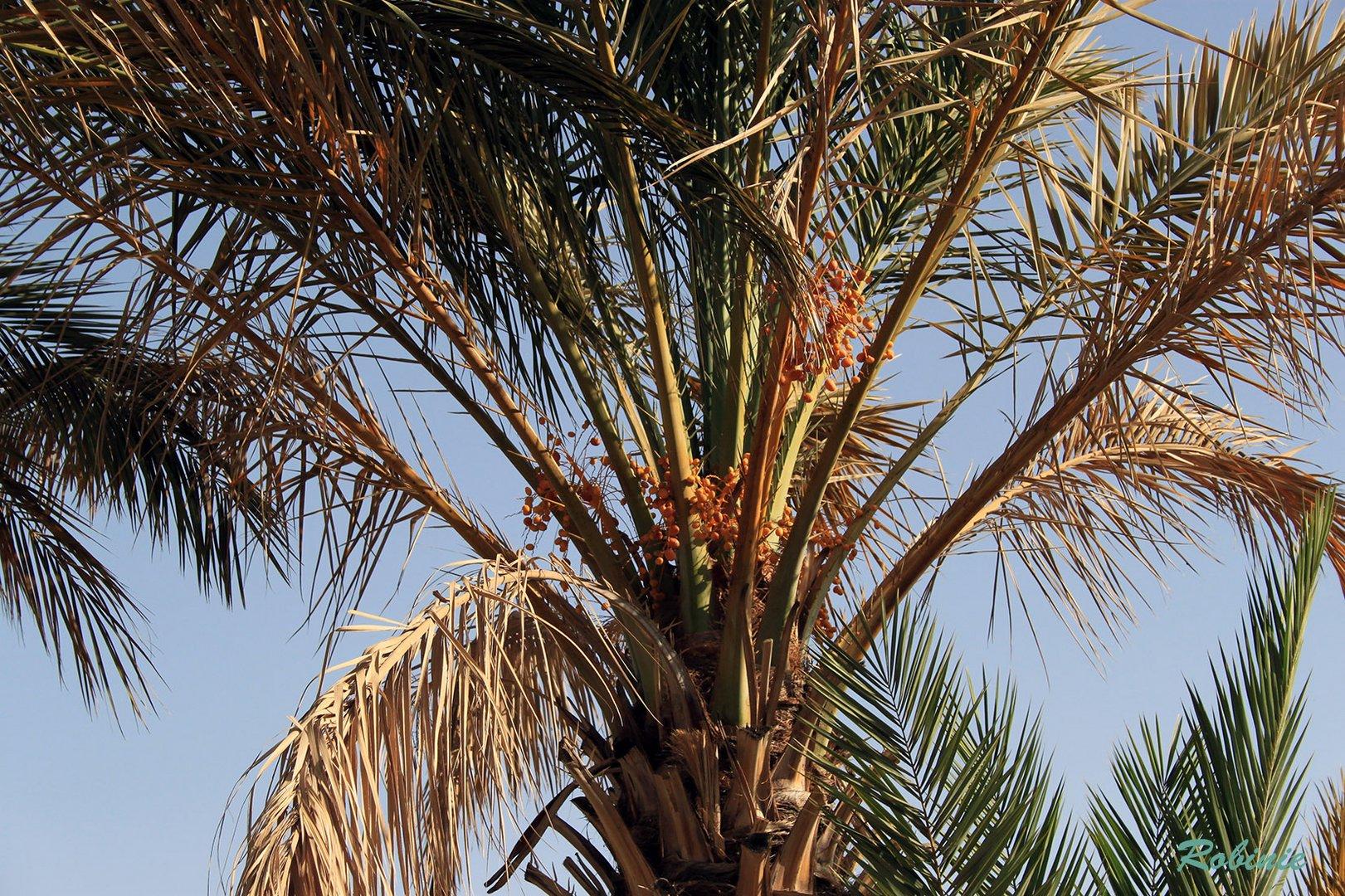 Palme mit Datteln
