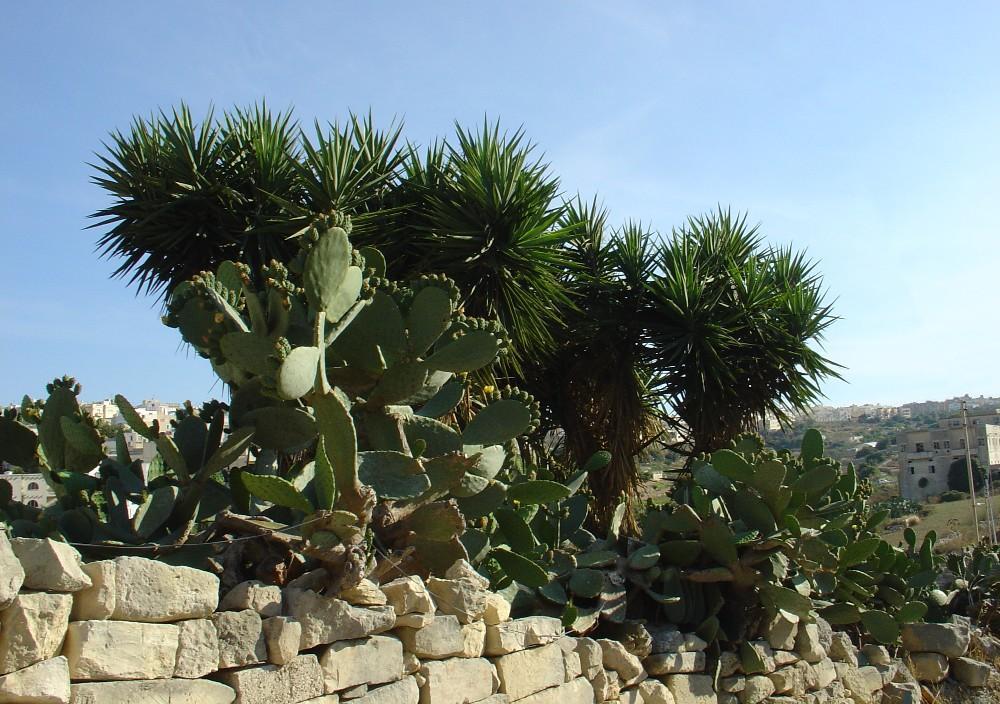 Palmen & Kaktusfeigen