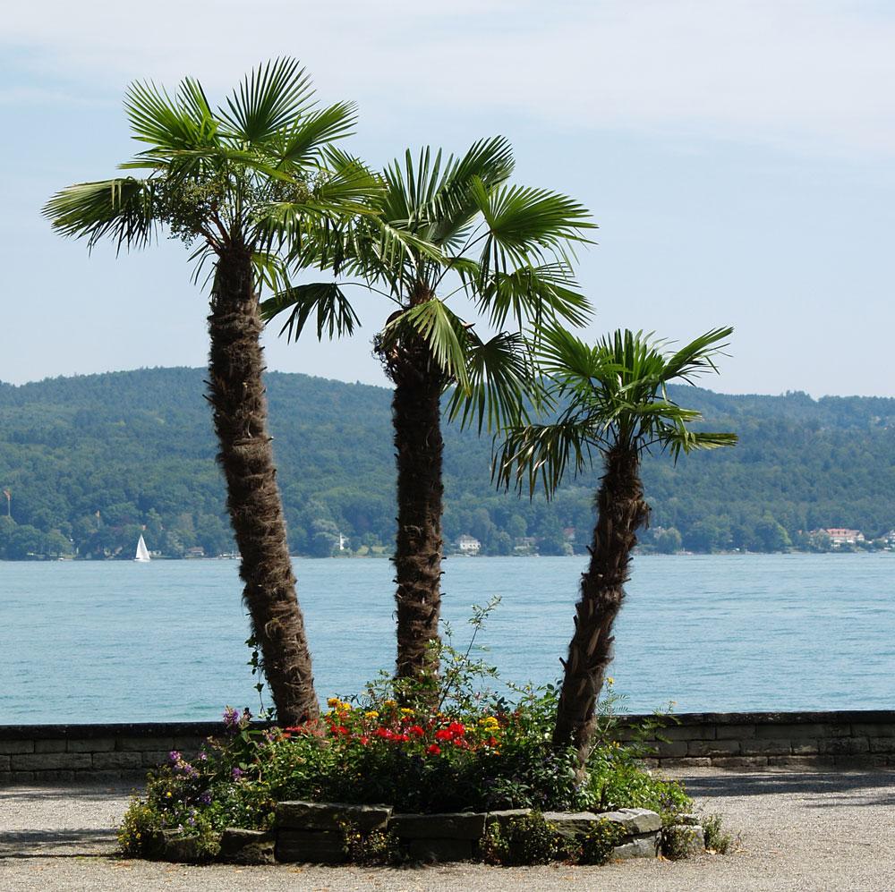 palmen auf der mainau foto bild pflanzen pilze flechten b ume palmen bilder auf. Black Bedroom Furniture Sets. Home Design Ideas