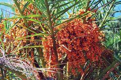 Palmen - Frucht