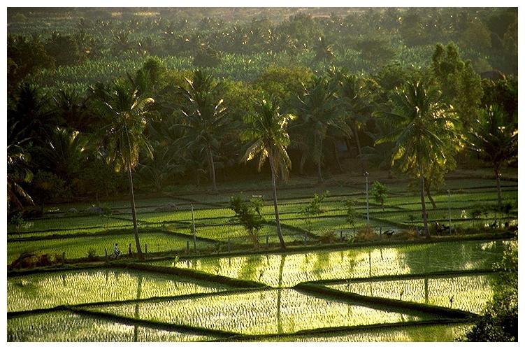 Palmen und Reis