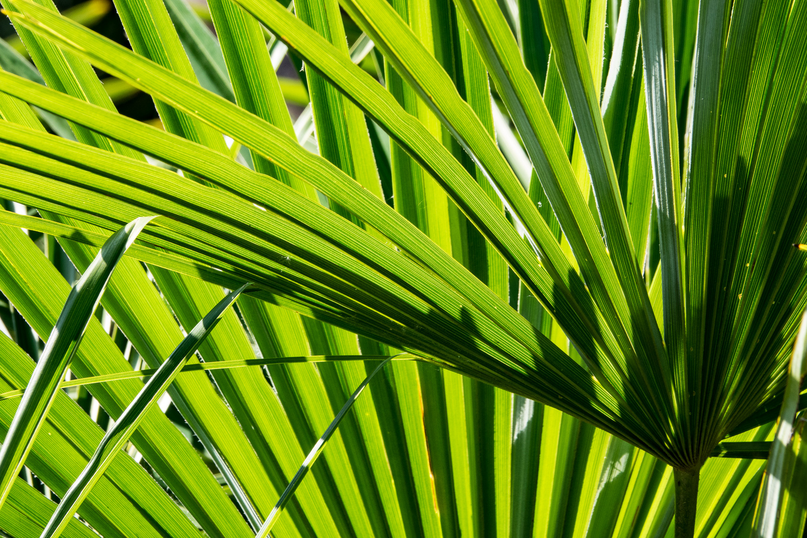 Palmenblatter Foto Bild Pflanzen Pilze Flechten Baume