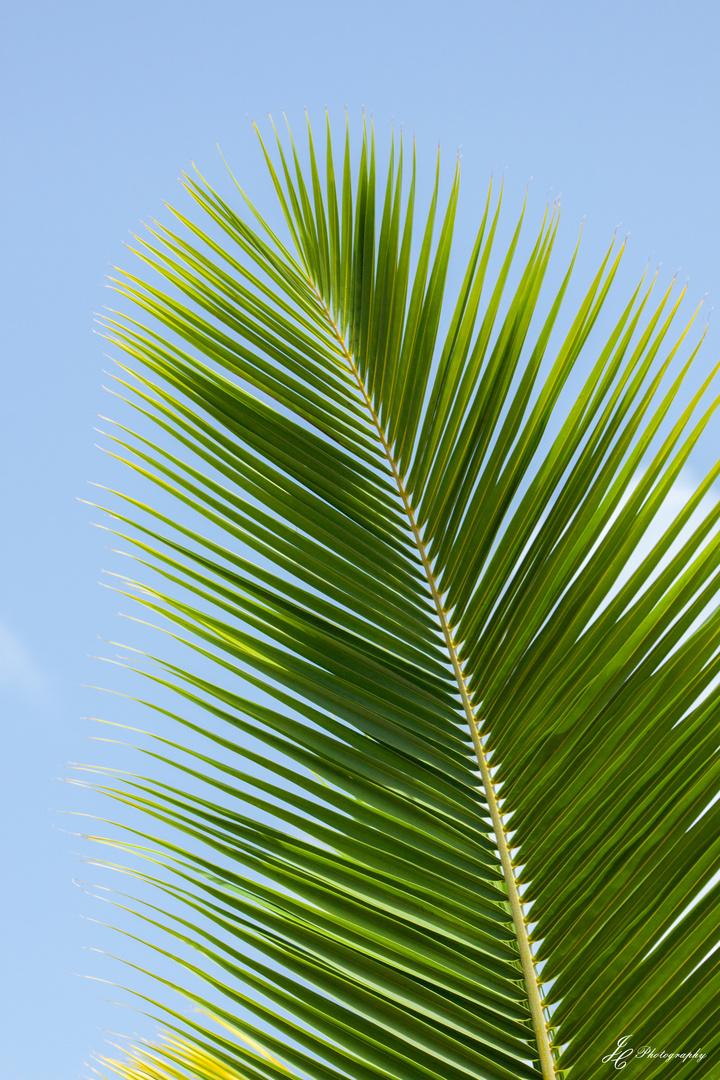 Palmenblatt Foto Bild Pflanzen Pilze Flechten Baume Palmen