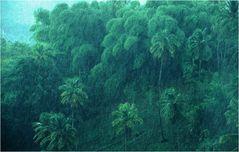 Palmenhain im Regen